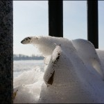 Белые медведи добрались до Ростова